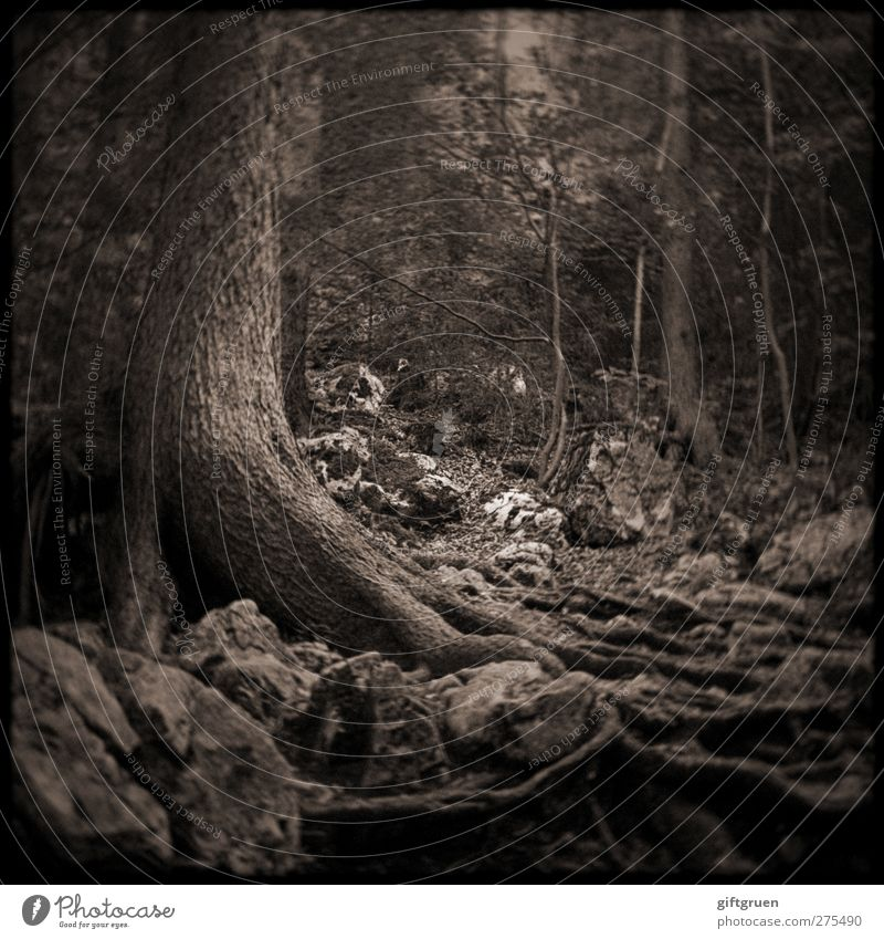 Nature Old Tree Plant Forest Environment Dark Stone Earth Natural Growth Elements Branch Creepy Tree trunk Upward