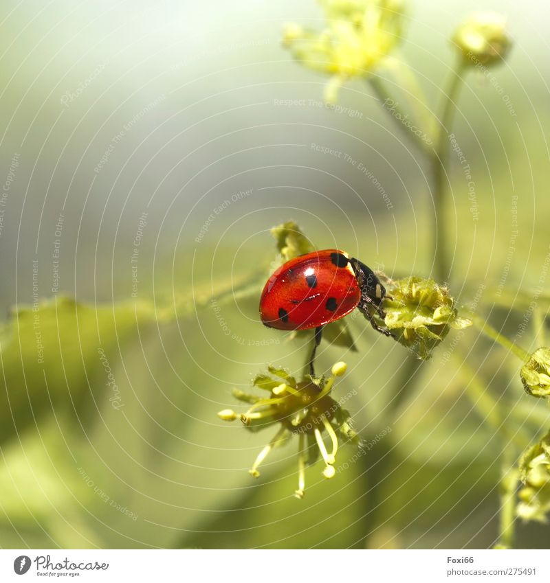 Keep balance Nature Spring Bushes Meadow Animal Wild animal Beetle Ladybird 1 Observe Discover Fat Glittering Beautiful Natural Cute Green Red Black Moody