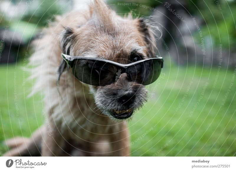 UV protection Summer Grass Garden Accessory Sunglasses Hair and hairstyles Brunette Punk Animal Dog Animal face 1 Relaxation Crouch Looking Bizarre Uniqueness
