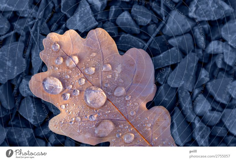 wet autumn leaf Nature Water Drops of water Autumn Leaf Fluid Fresh Cold Wet Above Blue Autumn leaves full-frame image Natural Damp detail Dew Gravel leafy