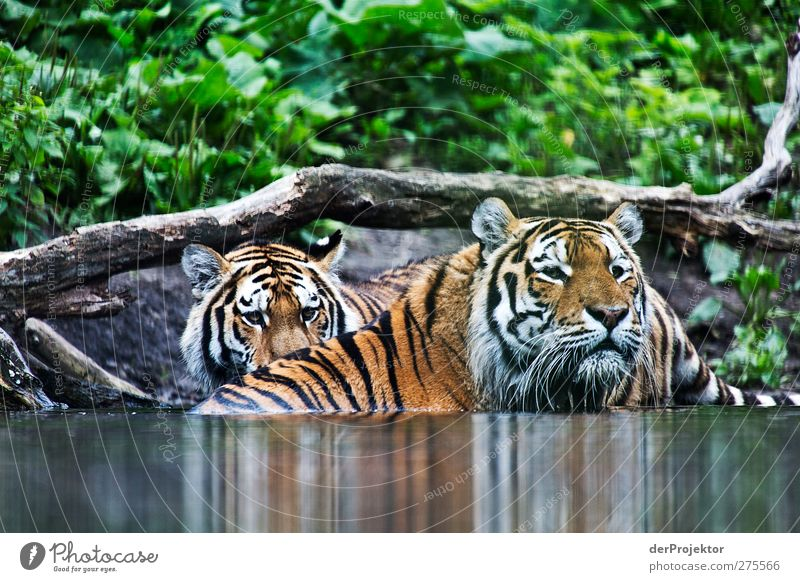 Siberian Tigers Animal 2 Looking Speed Fear die.projectors Joerg farys Watering Hole Striped Tiger skin pattern Colour photo Exterior shot Deserted Day