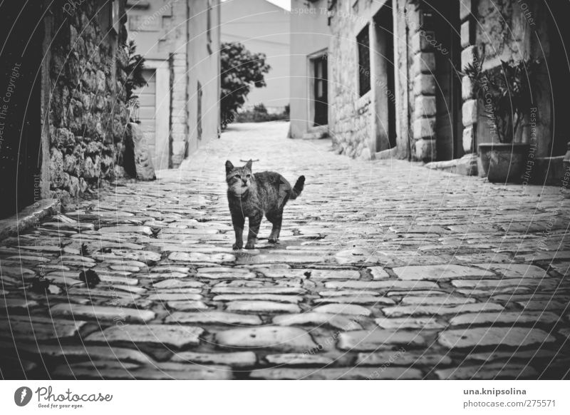 Cat City House (Residential Structure) Dark Street Wall (building) Lanes & trails Wall (barrier) Natural Wild Stand Observe Soft Curiosity Cobblestones Pet