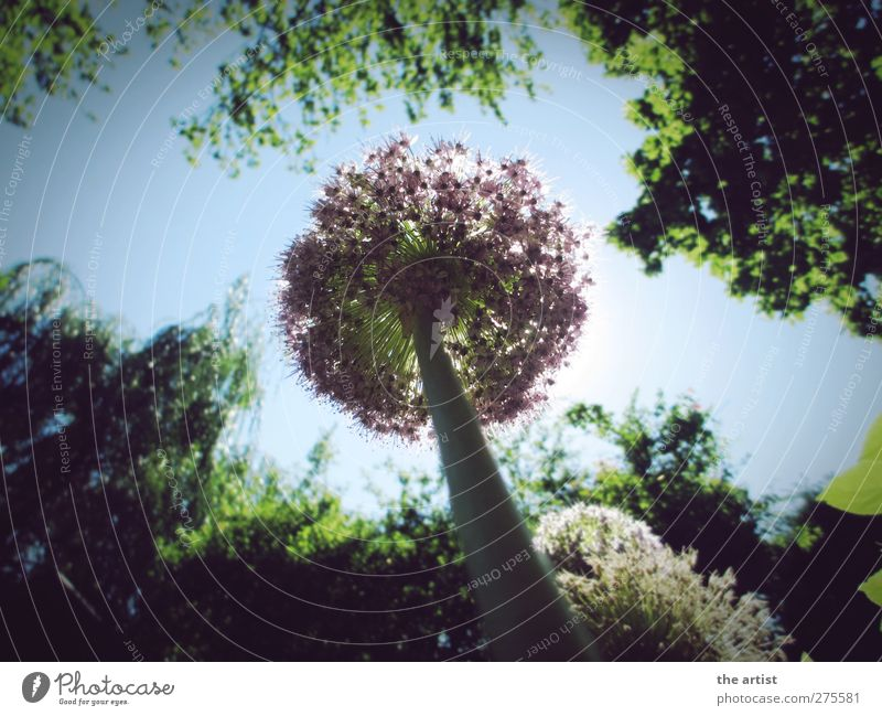ant's perspective Nature Plant Sky Cloudless sky Sunlight Summer Beautiful weather Tree Flower ornamental garlic Garden Free Friendliness Infinity Blue Green