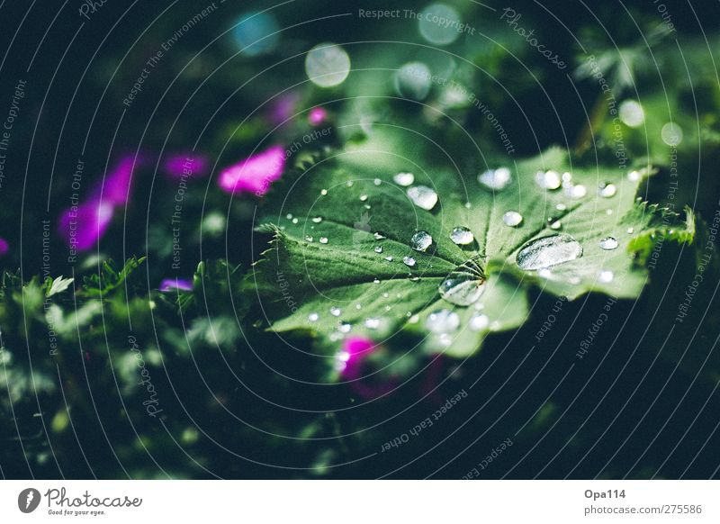 rope Environment Nature Plant Water Drops of water Summer Climate Weather Rain Leaf Blossom Foliage plant Garden Park Meadow Blossoming Dream Wet Green Pink
