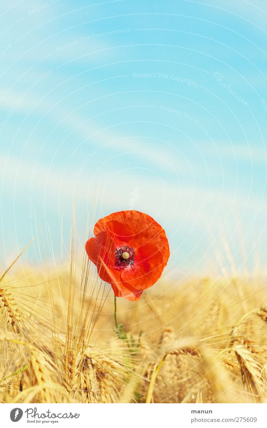 Poppy seed in rye field Agriculture Forestry Environment Nature Landscape Sky Summer Beautiful weather Plant Flower Blossom Poppy blossom Grain field Rye field