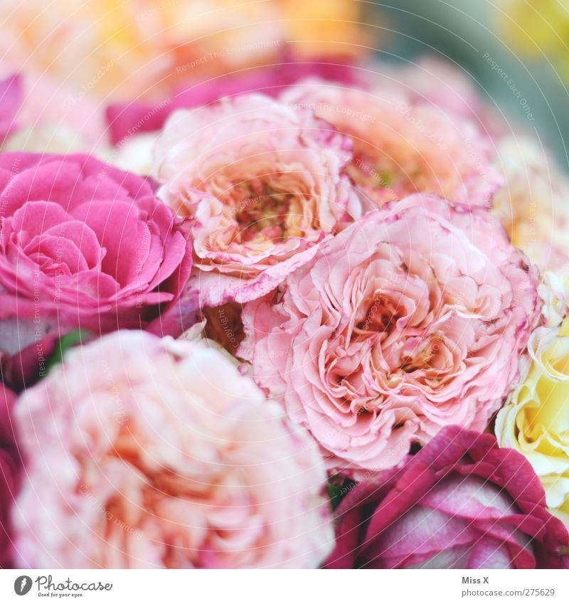 rosy Plant Spring Summer Flower Rose Blossom Blossoming Fragrance Pink Bouquet Colour photo Multicoloured Close-up Pattern Structures and shapes Deserted