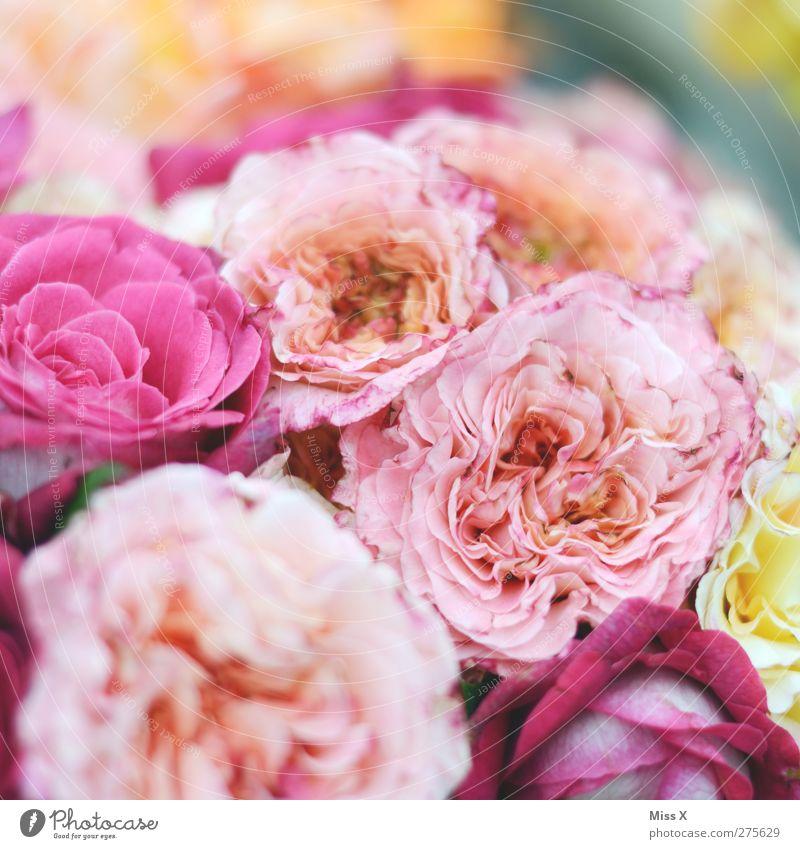 Summer Plant Flower Spring Blossom Pink Rose Blossoming Bouquet Fragrance