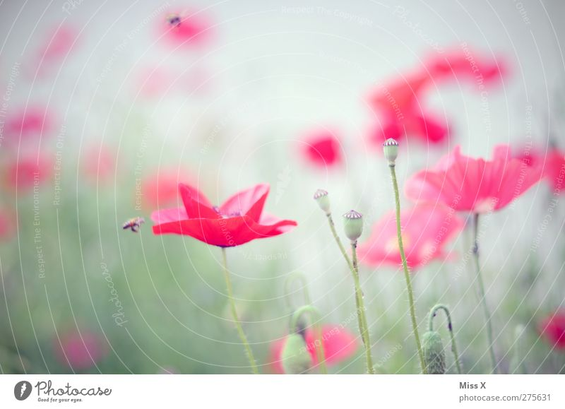 Nature Summer Red Plant Flower Leaf Meadow Blossom Blossoming Bee Poppy Fragrance Poppy field Poppy blossom Poppy capsule