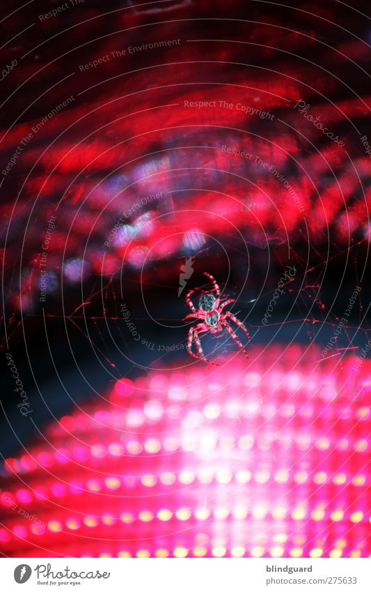 Red lights Animal Traffic light Spider 1 Glass Hang Disgust Firm Pink Black Horror Wait Insect arachnophobia Lamp Road sign Net Spider's web Colour photo
