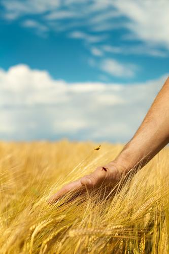 country love Agriculture Forestry Hand Environment Nature Landscape Sky Summer Plant Agricultural crop Harvest Mature Cornfield Grain field Rye ear Country life