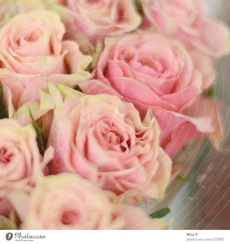 Flowery Plant Rose Blossom Pink Bouquet Romance Infatuation Colour photo Close-up Pattern Structures and shapes Deserted Shallow depth of field