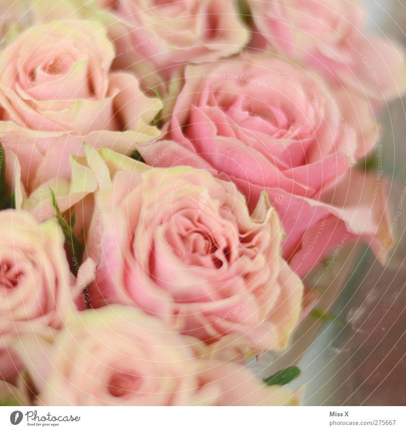 Plant Flower Blossom Pink Rose Romance Bouquet Infatuation
