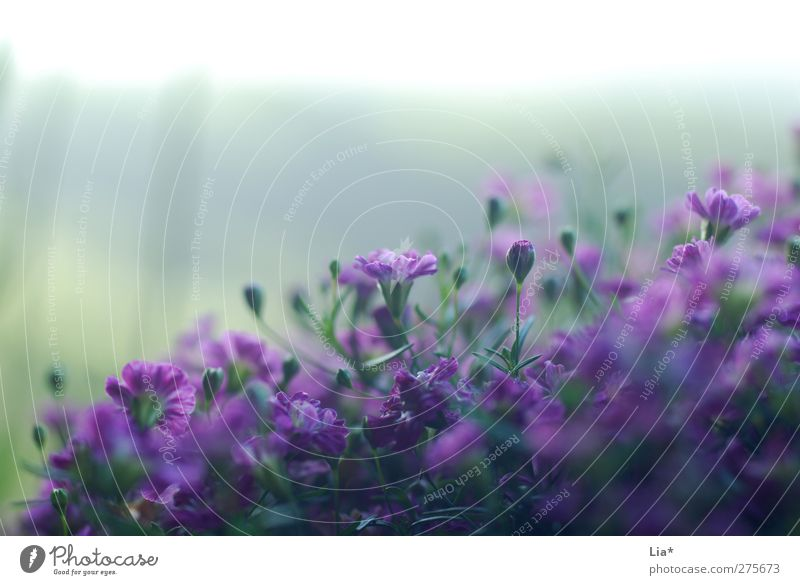 Purple flowers stretch towards the light Plant Flower Blossom Blossoming Fragrance Violet Hope Environment Growth Colour photo Exterior shot Close-up Detail