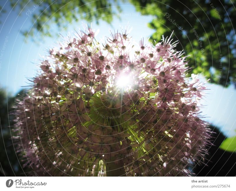 flower magic Nature Plant Sky Cloudless sky Sun Sunlight Summer Flower Blossom ornamental garlic Fragrance Free Friendliness Bright Blue Green Violet Happiness