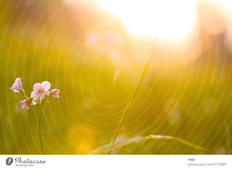 Flower on the meadow Plant Sun Sunrise Sunset Sunlight Spring Beautiful weather Grass Garden Meadow Esthetic Exceptional Fantastic Warmth Yellow Gold Emotions