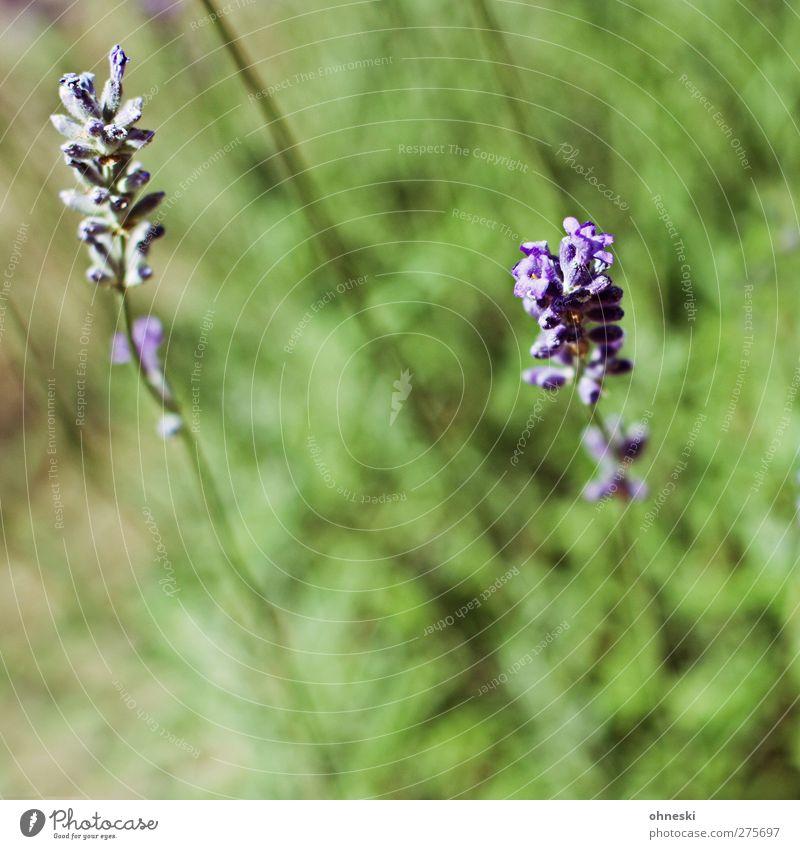 Summer Plant Blossom Garden Violet Fragrance Lavender