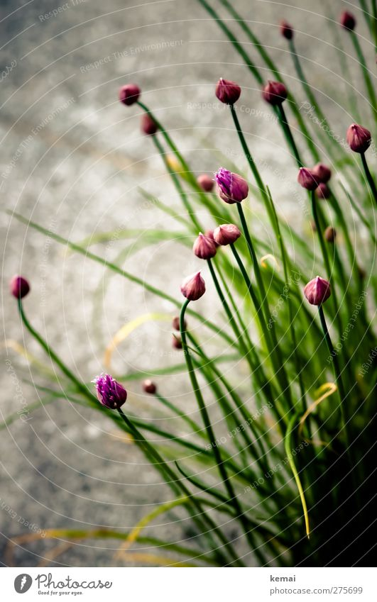 Chives with flowers Food Herbs and spices Organic produce Nature Plant Blossom Agricultural crop Garden Blossoming Growth Green Violet Bud Colour photo