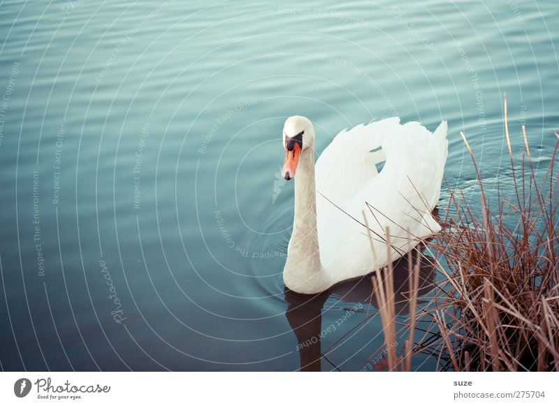 my dear swan Environment Nature Animal Water Grass Lakeside Wild animal Bird Swan 1 Observe Swimming & Bathing Esthetic Beautiful Blue White Moody Feather