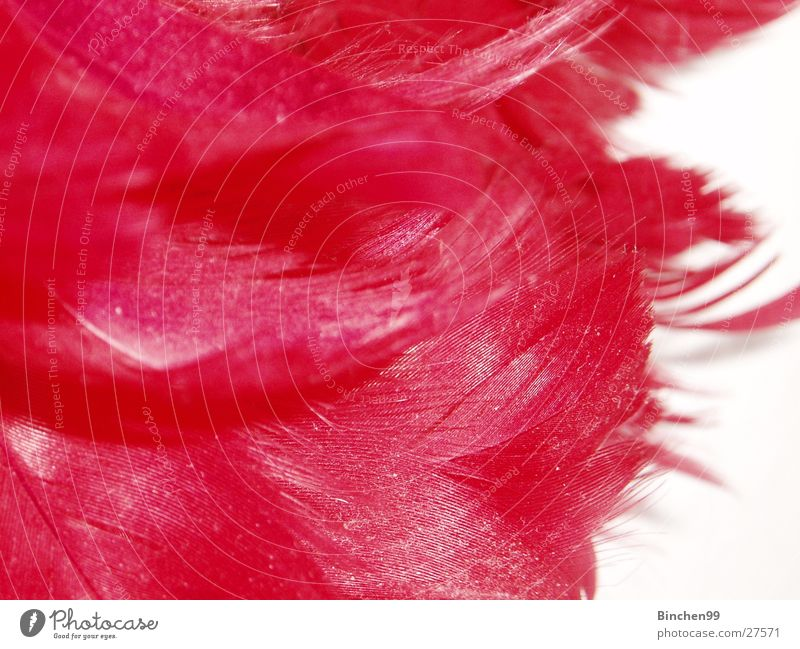 feather red Red White Background picture Macro (Extreme close-up) Close-up Feather
