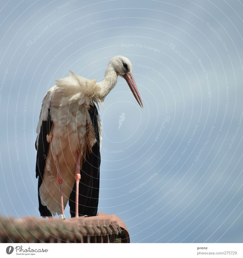 storks Environment Nature Animal Beautiful weather Wild animal Bird 1 Blue White Stork Roof Sky Stork village Linum Colour photo Exterior shot Deserted