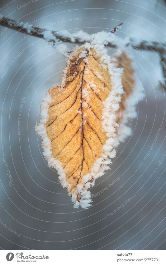 framed Nature Plant Water Autumn Winter Ice Frost Leaf Beech leaf Twigs and branches Rachis Hoar frost Cold Symmetry Change Frozen Motionless Pattern