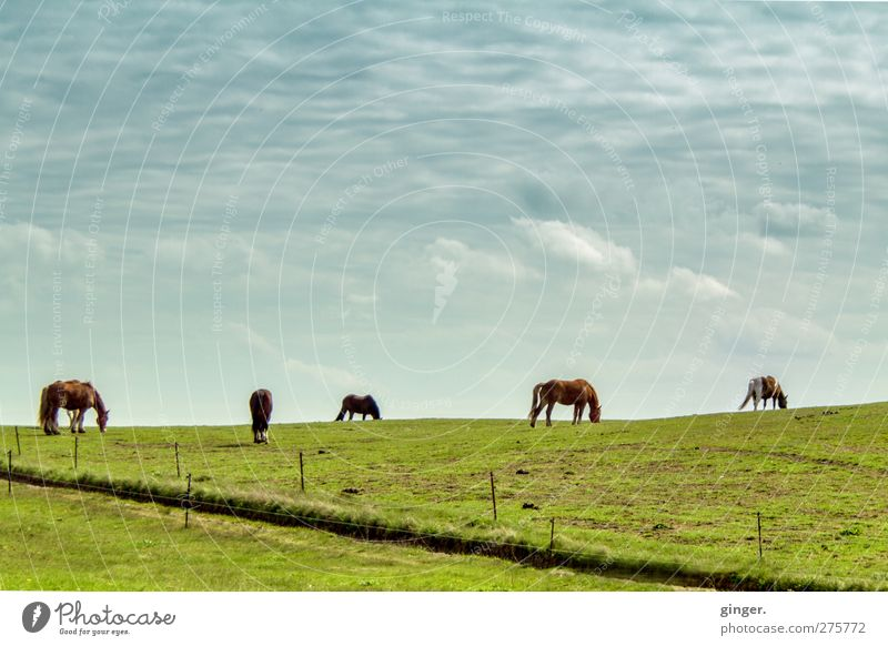 Hiddensee horses on the horizon, one might be Drama. Sky Clouds Meadow Animal Pet Farm animal Horse Group of animals Herd To feed Together Green Pasture