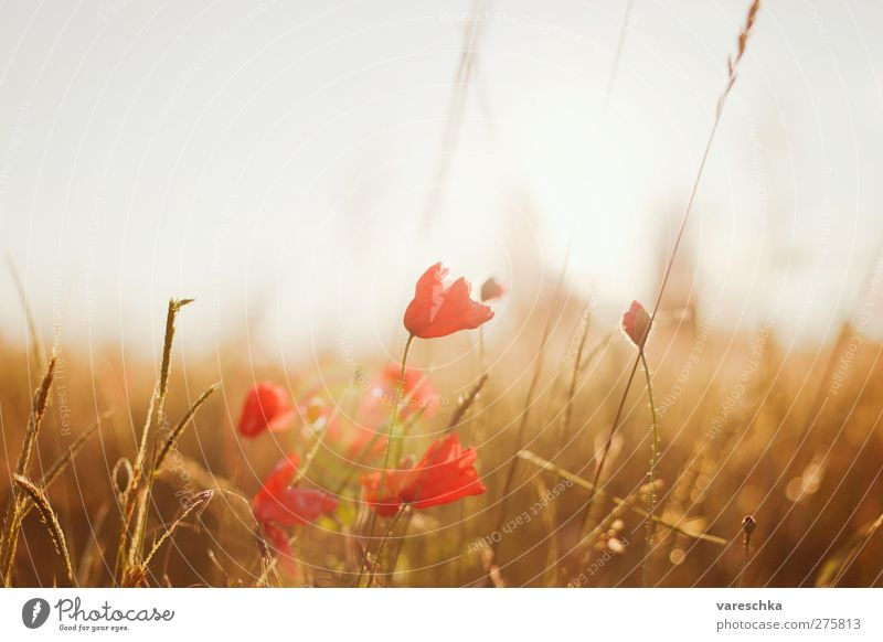 Nature Summer Red Plant Flower Landscape Environment Meadow Grass Blossom Horizon Brown Field Gold Transience Poppy