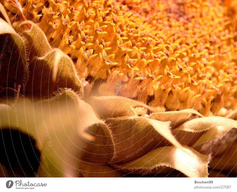Plant Leaf Yellow Autumn Blossom Sunflower Seed