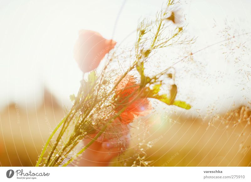 In cornfield 2 Hand Environment Plant Flower Blossom Wild plant Bouquet Poppy Poppy blossom Summer Meadow Field Warmth Yellow Gold Colour photo Multicoloured