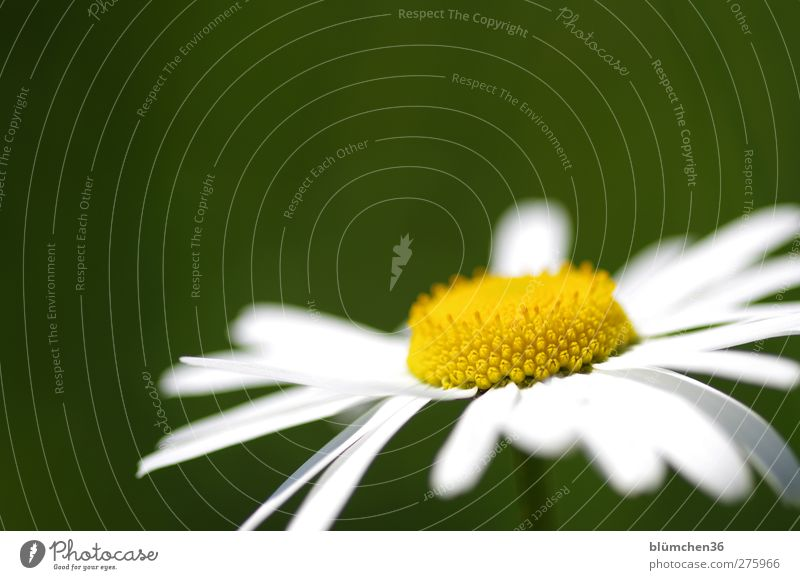 Nature White Green Beautiful Summer Plant Flower Joy Yellow Meadow Spring Happy Blossom Growth Fresh Esthetic