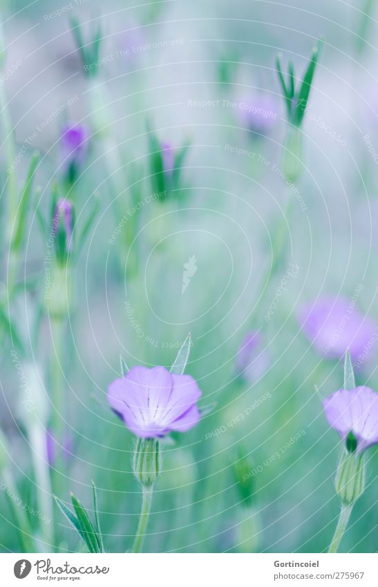 sea of blossoms Environment Nature Plant Spring Summer Flower Blossom Beautiful Green Violet Calyx Flower stem Blossom leave Colour photo Exterior shot