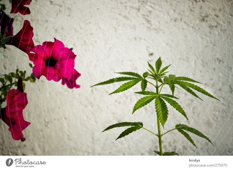 Plant Beautiful Green Summer White Flower Red Leaf Wall (building) Blossom Wall (barrier) Growth Esthetic Blossoming Medication Fragrance
