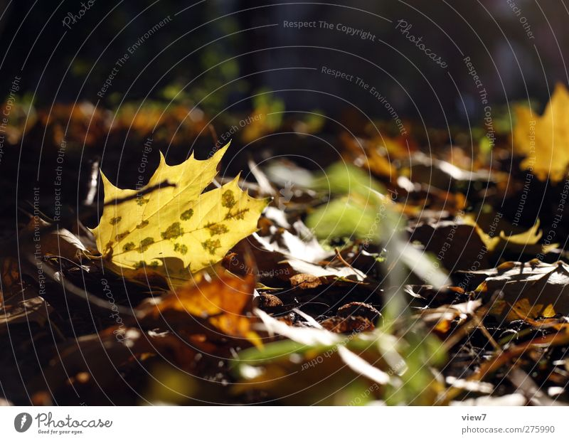 Autumn Environment Nature Sun Beautiful weather Plant Leaf Old Authentic Simple Brown Multicoloured Beginning Loneliness End Colour Autumnal Transience Summer