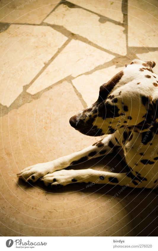 temporise Dog 1 Animal Lie Wait Esthetic Elegant Beautiful Warmth Trust Love of animals Watchfulness Calm Boredom Stone floor dots and lines Dappled Pelt Beige