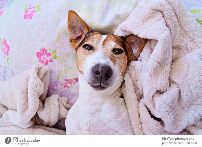 Cute sleepy muzzle of dog looking at camera Lifestyle Happy Face Playing Winter Bedroom Baby Adults Animal Pet Dog Smiling Sleep Dream Small Funny Pink White