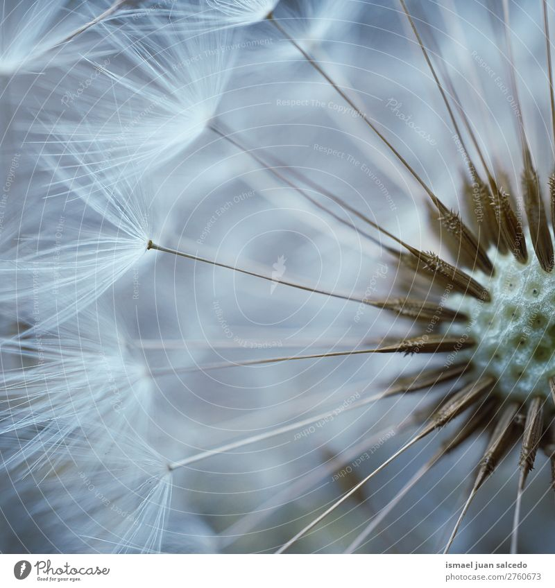 dandelion flower plant Dandelion Flower Plant seed Floral Garden Nature Decoration Abstract Consistency Soft Exterior shot background romantic fragility