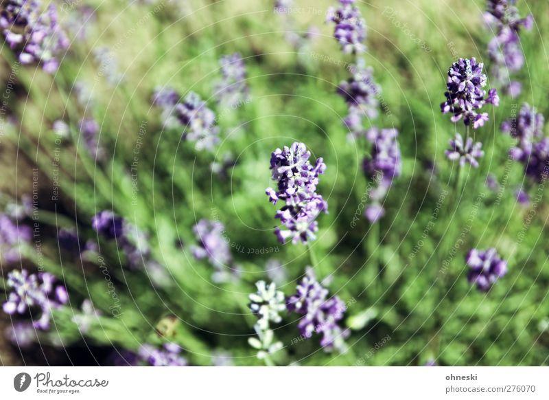 Nature Plant Blossom Garden Violet Fragrance Lavender