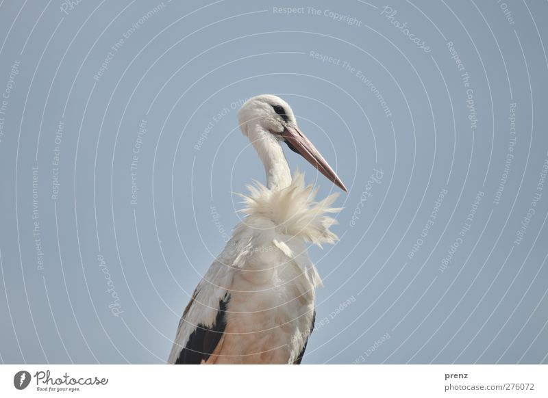 no vulture Environment Nature Animal Wild animal Bird 1 Blue White Stork Stork village Linum Sky Colour photo Exterior shot Copy Space left Copy Space right Day