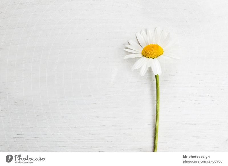 Marguerite on white background, spring concept Nature Plant Spring Summer Flower Blossoming daisy copy space blossom petals springtime romance romantic to grow