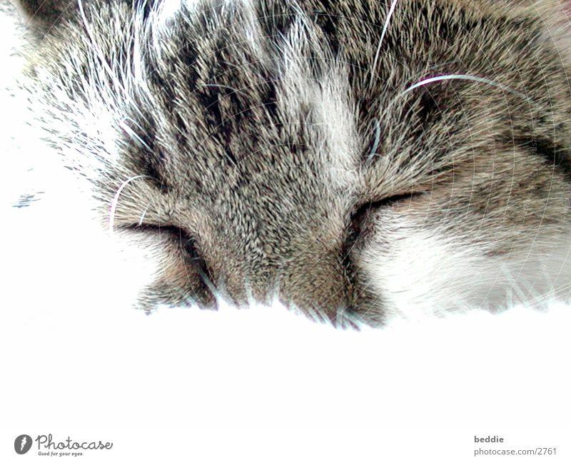 Cat Pelt