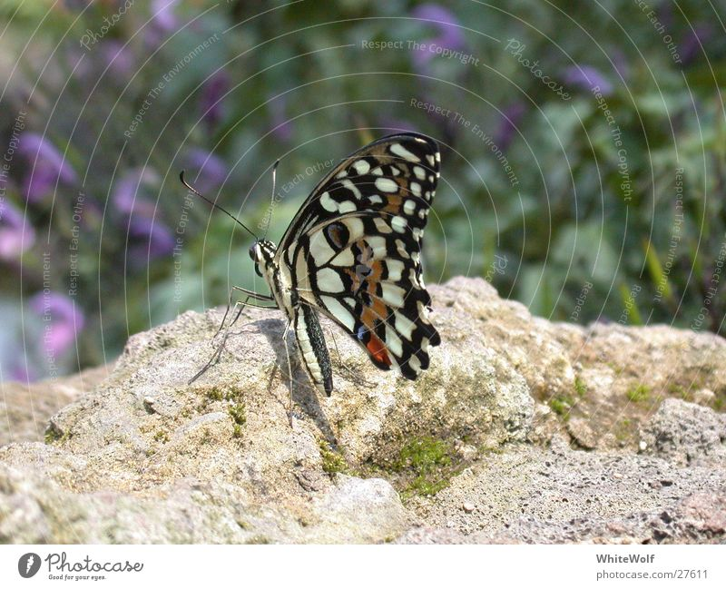 Animal Flying Sit Wing Switzerland Butterfly Judder