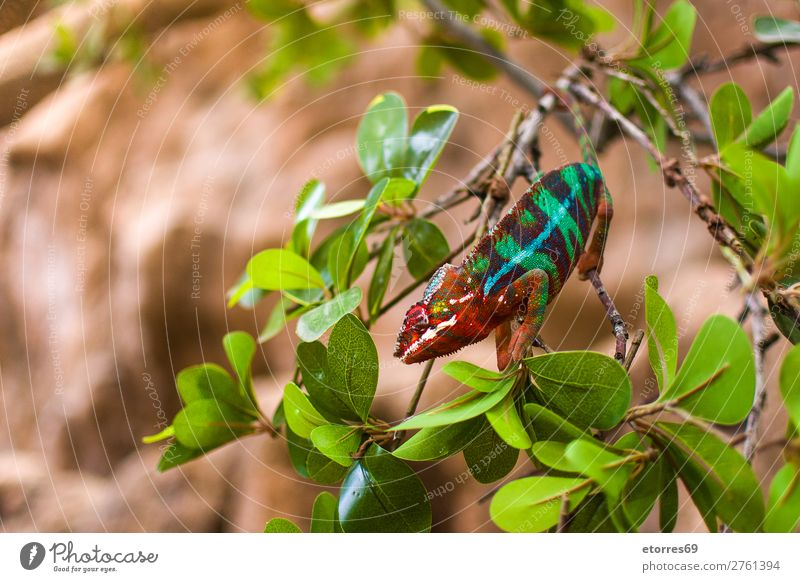 Colorful chameleon Chameleon Animal Forest Virgin forest Wild Colour Multicoloured Branch Green Nature Exotic Landscape Leaf Reptiles Close-up Tree