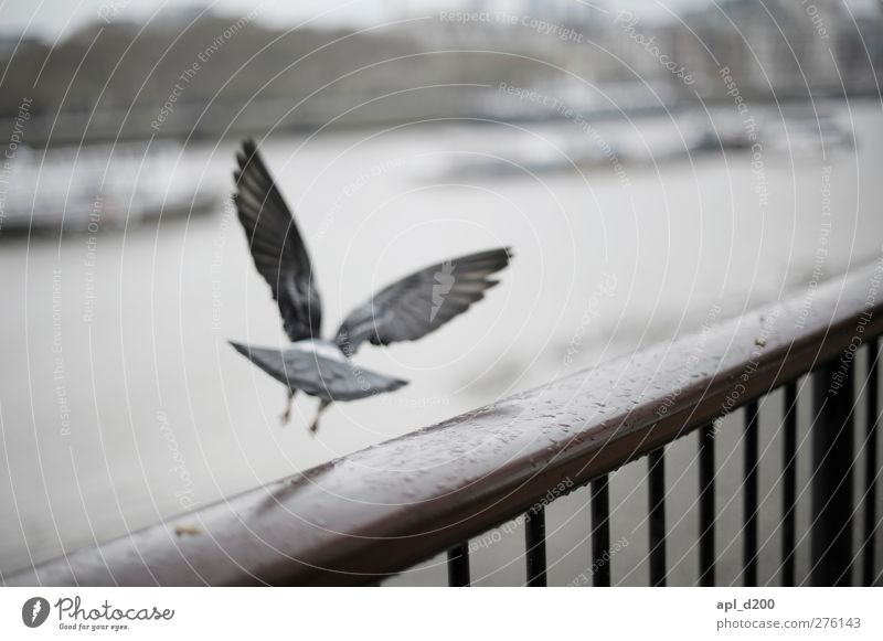 www.ichmussweg.de Vacation & Travel Tourism London Wild animal Pigeon 1 Animal Flying Cold Blue Gray White Optimism Adventure Effort Themse Banister Bird
