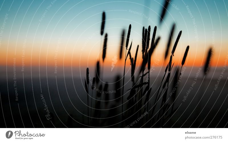 reed Nature Landscape Cloudless sky Night sky Horizon Sunrise Sunset Beautiful weather Plant Grass Bushes Wild plant Common Reed Meadow Field Bog Marsh Moody