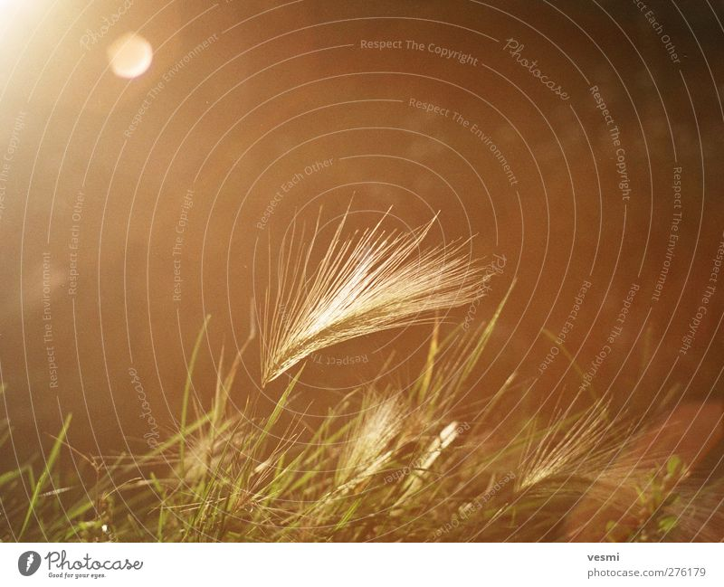 dream Nature Sunlight Grass Field Retro Warmth Brown Warm-heartedness Romance Serene Esthetic Relaxation Freedom Idyll Ease Style Moody Dreamily Grain Gorgeous