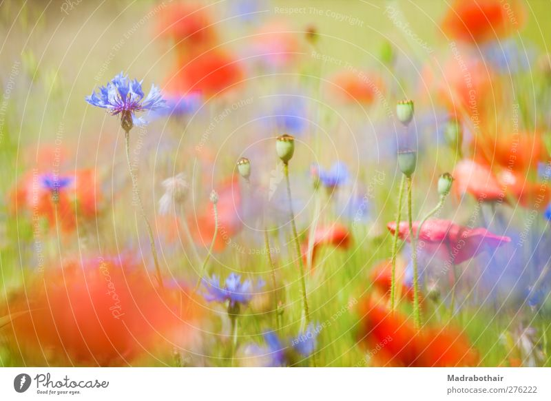 summer meadow Nature Landscape Plant Summer Flower Grass Blossom Poppy Poppy field Cornflower Meadow Blossoming Blue Multicoloured Red Ease Blur Depth of field