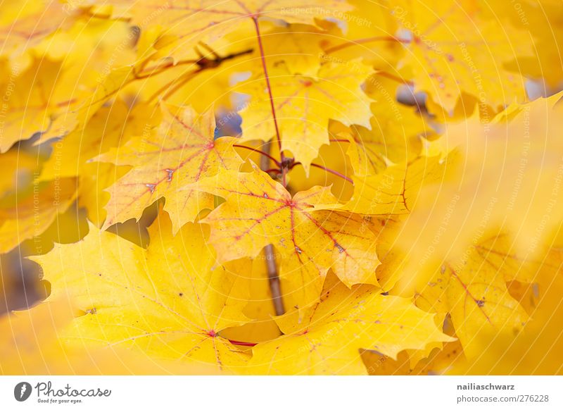 yellow Nature Landscape Plant Autumn Tree Leaf Branch Yellow Colour Environment Colour photo Exterior shot Deserted Day
