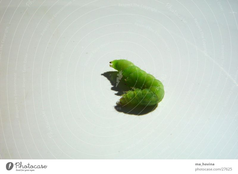 caterpillar02 Insect Green Sleep Caterpillar Shadow