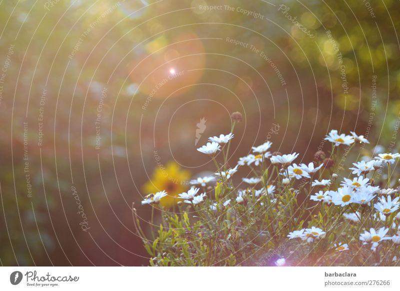 Voilà - Summer! Sun Sunrise Sunset Flower Marguerite Garden Blossoming Illuminate Bright Warmth Multicoloured Moody Joie de vivre (Vitality) Romance Esthetic