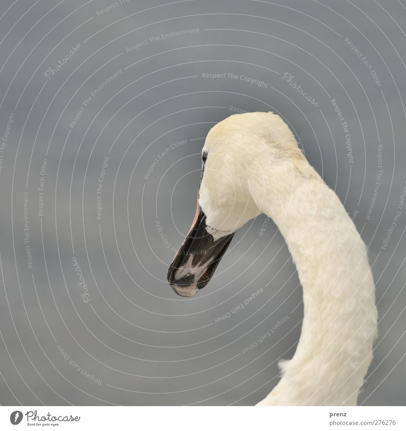 swan Environment Nature Animal Wild animal Swan 1 Gray White Bird Neck Head Beak Arch Colour photo Exterior shot Deserted Copy Space left Neutral Background Day